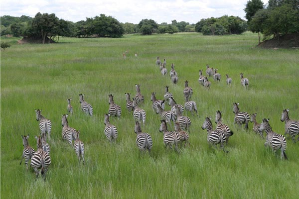 Zebra Herd at Chaminuka Game Reserve Zambia