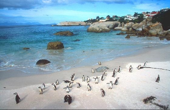 Penguins at Boulders Penguin Colony Cape Town